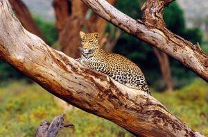 Un leopardo en el parque nacional Kruger (Sudáfrica).