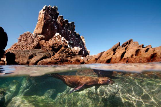 Un león marino en Los Islotes, en Baja California Sur.