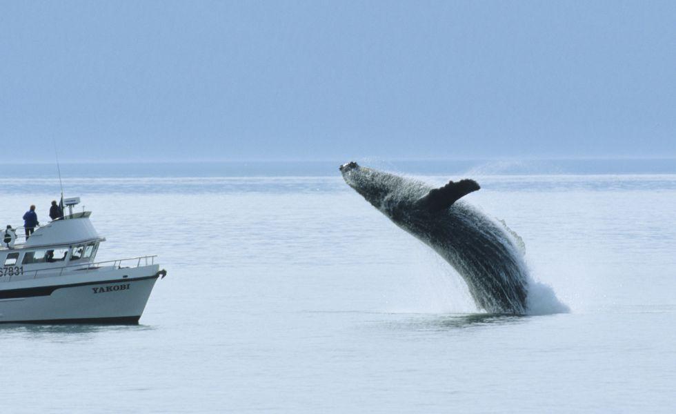 Fotos de ballenas con cuerno 8