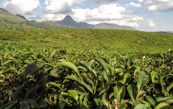 Plantaciones de té en Gurúè, en Mozambique