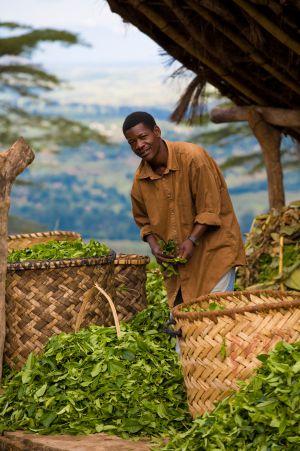 Recogida del té en la región de Gurúè, en Mozambique.
