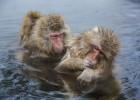 Aguas termales para... monos