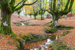 Beech forest of Otzarreta inside Gorbeia natural park (Basque Country).