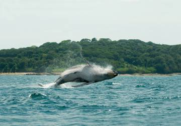 Avistamiento de ballenas jorobadas en la costa del Pacífico de Panamá.