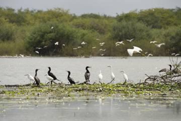 Charranes, garzas y y cormoranes en el Crooked Tree Wildlife Sanctuary, en Belice.