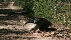 Un oso hormiguero en El Impenetrable (Argentina).