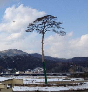 El solitario pino de Rikuzentakata.
