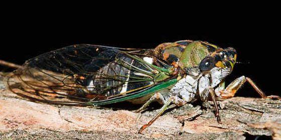 Imagen de una cicada nativa de EE UU.