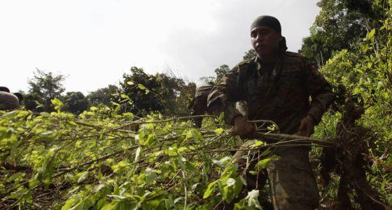 Policía panameño con plantas de coca.