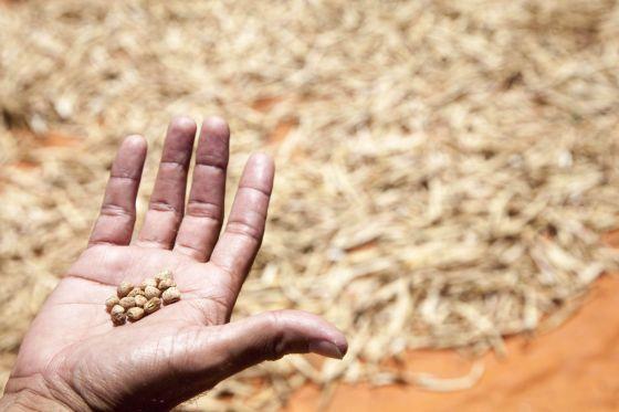 Un campesino paraguayo muestra granos de garbanzo cosechados