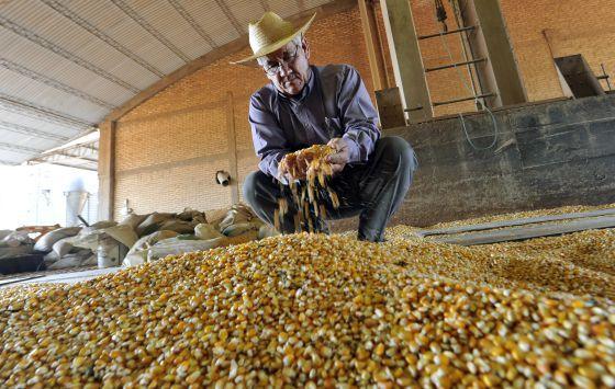 Un agricultor examina el maíz transgénico que cultiva.