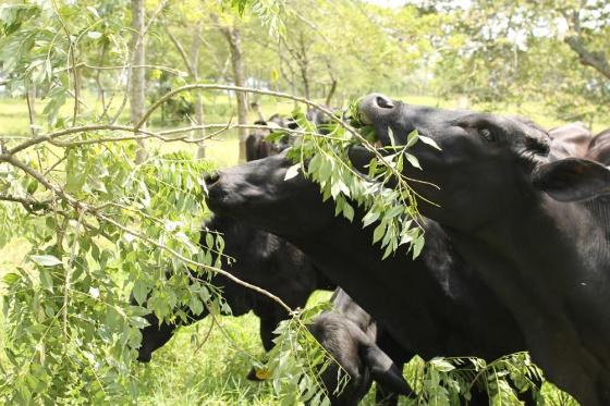 Vacas comen hojas de árboles
