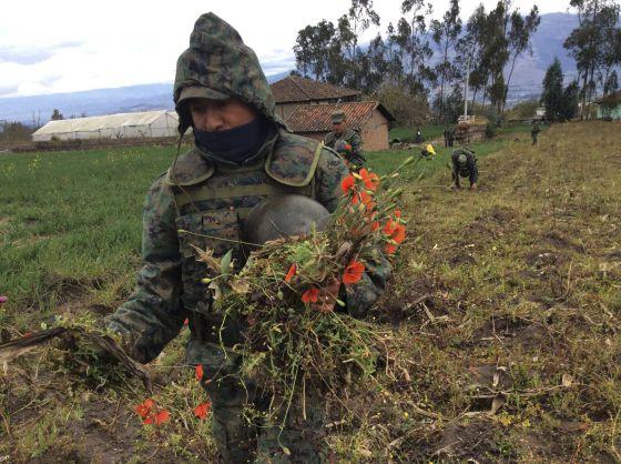 Militares en Ecuador destruyen un campo de amapola.