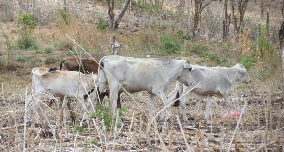 Vacas pastando en campos amarillentos en Nicaragua