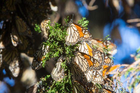 Un grupo de mariposas monarcas, en Michoacán.