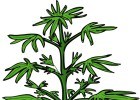 Jamaica legalizará la marihuana medicinal