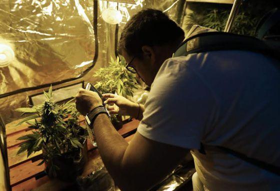 Un hombre fotografía una planta de cannabis, en Montevideo