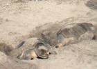 México despliega drones para evitar la caza furtiva de huevos de tortuga