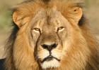 Zimbabue anuncia que no acusará al dentista que cazó al león 'Cecil'