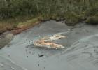 La casualidad que permitió el hallazgo de 300 ballenas muertas en Chile