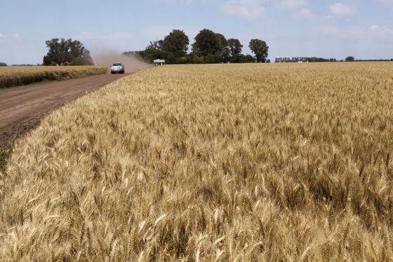 Plantaciones de trigo en el municipio bonaerense de Suipacha, Argentina