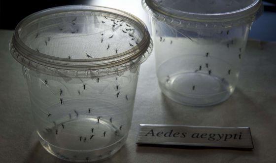 Mosquitos Aedes aegypti, transmisores del virus zika