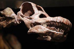 Réplica del cráneo de unos de los dinosaurios más grandes encontrados.