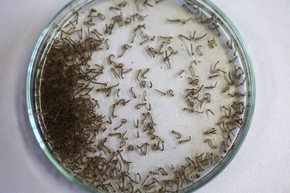 Mosquito Aedes aegypti, transmite el virus del zika