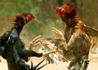 La venganza del señor de los gallos