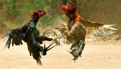 Una pelea de gallos.