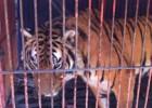 Un tigre de Bengala es requisado en una finca de la Ciudad de México