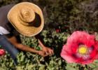 Guerrero plantea regular el opio para frenar la sangría del narco