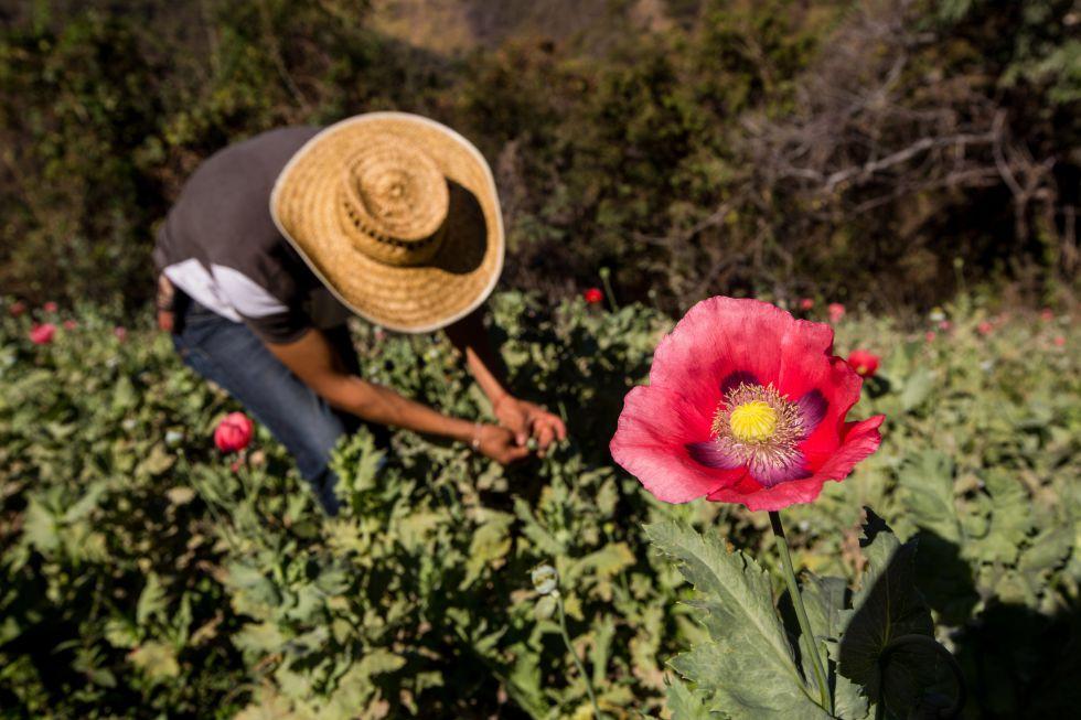 Un plantío de amapola en 2016 en Guerrero, México.