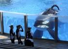 SeaWorld dejará de criar orcas ante la oleada de críticas animalistas