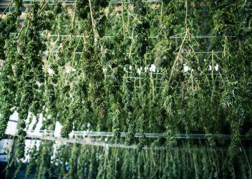 FOTOS: La mayor granja de marihuana de América Latina