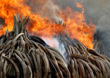 Queman en Kenia colmillos de 6.700 elefantes cazados para el tráfico de marfil