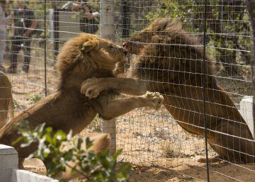 Los 33 leones 'salvados' en Colombia y Perú ya son casi libres en Sudáfrica