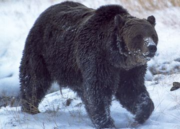 Abatido a tiros el oso Scarface, el animal más famoso de Yellowstone