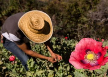 México estudia legalizar el opio con fines médicos