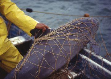 El cetáceo más pequeño del mundo, al borde de la desaparición