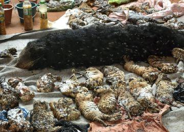 Descubiertos 40 cadáveres de crías de tigre en un templo en Tailandia