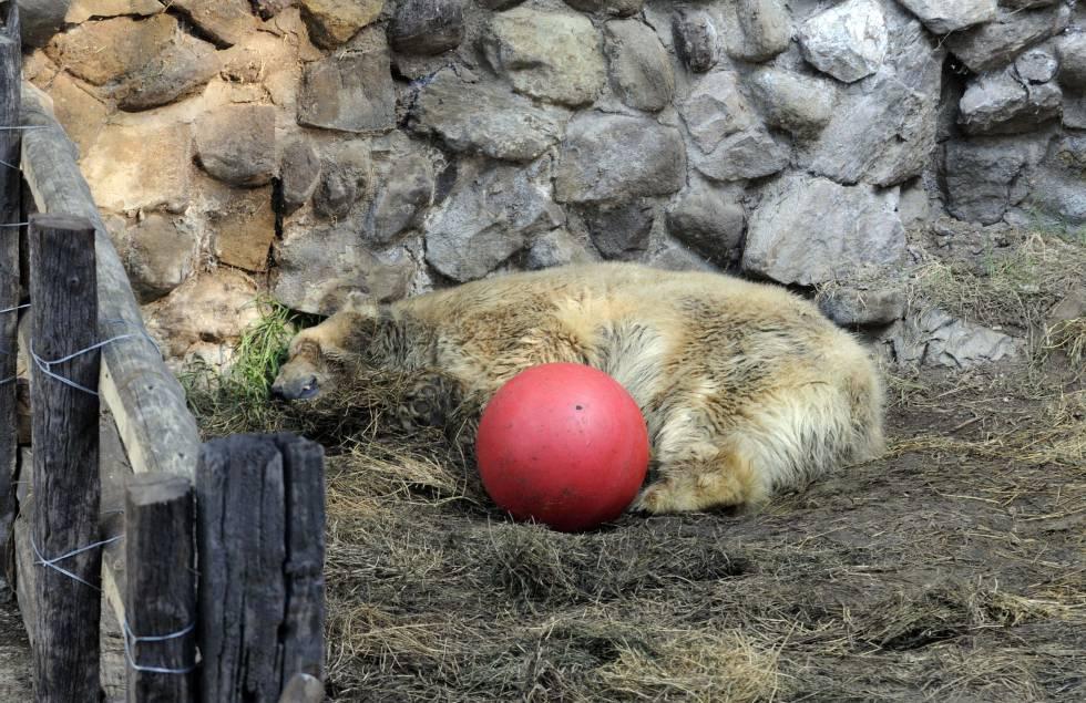 Muere Arturo, el último oso polar de Argentina