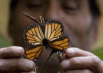 El frío mexicano, la amenaza letal de las mariposas monarca