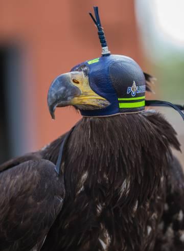 El águila calva es llamada también águila blanca o águila marina americana, una especie de América del Norte.
