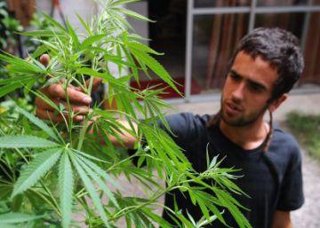 Cosecha de marihuana lista para su venta en 50 farmacias uruguayas