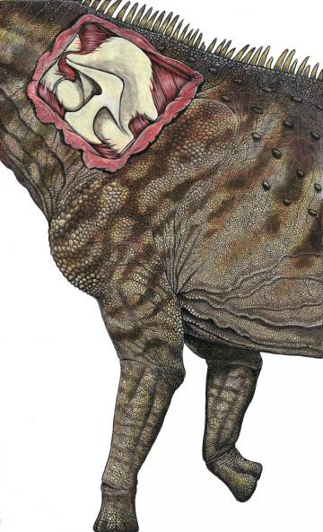 El dibujo ilustra la reconstrucción de la vértebra del nuevo dinosaurio