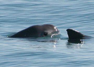 México ve agonizar a su vaquita marina