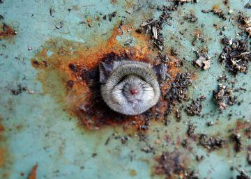 Washington DC, ciudad de ratas