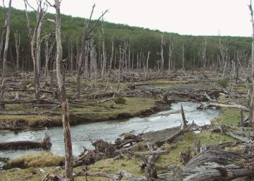 Argentina matará 100.000 castores para salvar sus bosques nativos