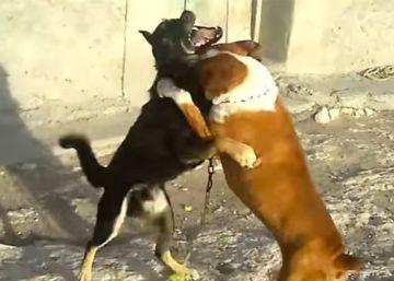México estrecha el cerco sobre las peleas de perros